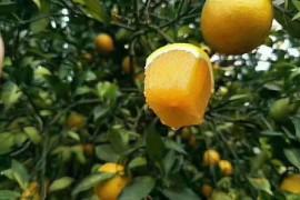 国宴红江橙