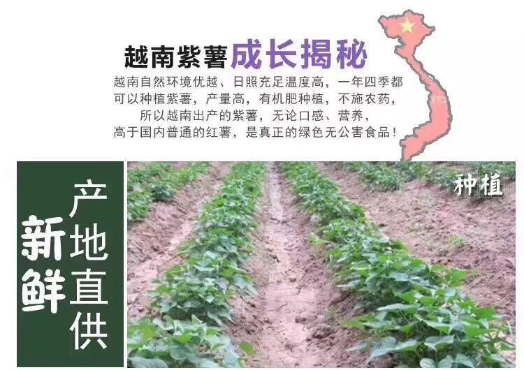 越南紫薯43.jpg