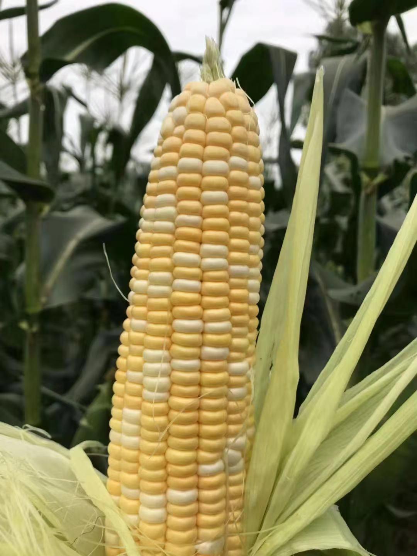 水果玉米8斤42.jpg